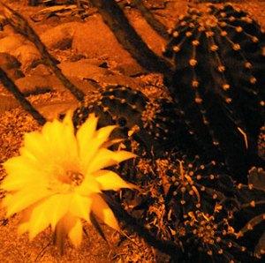 Cactus Night Blossom